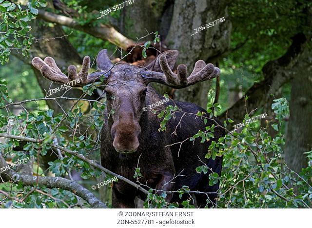Detail portrait of elk, moose. Moose, North America, or Eurasian ...