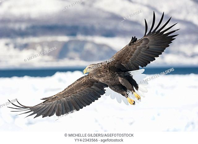 White-tailed eagle, Haliaeetus albicilla, Rausu, offshore Hokkaido, Sea of Okhotsk, Japan