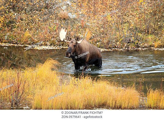 Elchbulle Yukon Kanada