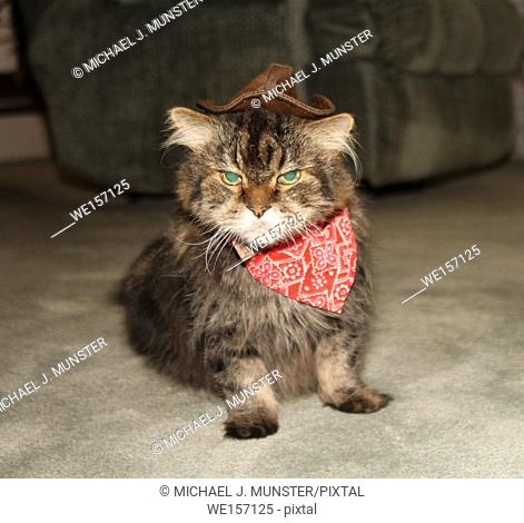 Maine Coon in cowboy costume