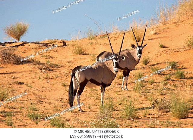 Two gemsboks in the kalahari