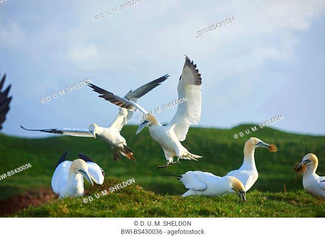 northern gannet (Sula bassana, Morus bassanus), collect nesting material, Germany, Schleswig-Holstein, Heligoland