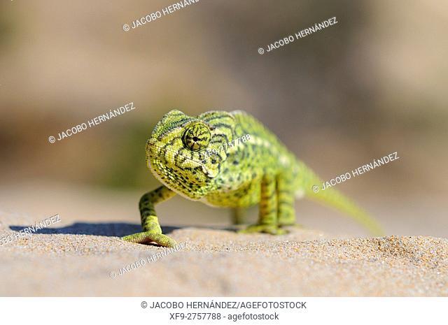 Common Chamaleon (Chamaeleo chamaeleon).Punta Candor.Rota.Cádiz province .Andalusia.Spain
