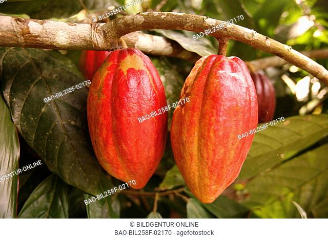 A cocoa fruit in a cocoa plantation in Chuao in the Caribbean in Venezuela in South America