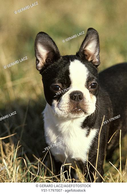Boston Terrier Dog, Adult standing in Long Grass