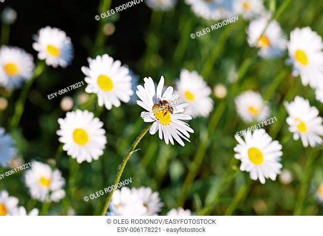 Green flowering meadow with white daisies and honey bee. Natural background