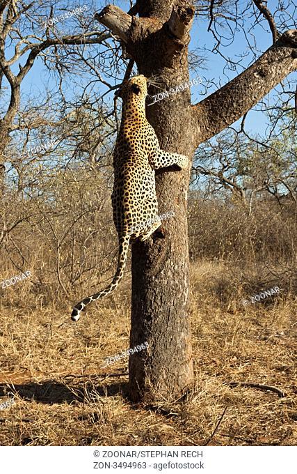 Leopard Panthera pardus klettert auf einen Baum - Leopard Panthera pardus climbs up a tree