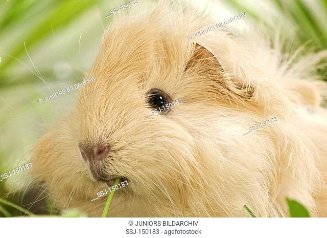 young Angora guinea pig - munching restrictions: Tierratgeber-Bücher, Kalender / animal guidebooks, calendars