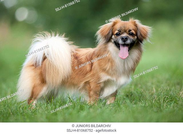 Tibetan Spaniel. Adult dog standing on a meadow. Germany
