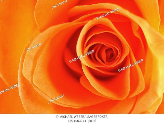Close-up of a Rose (Rosa)