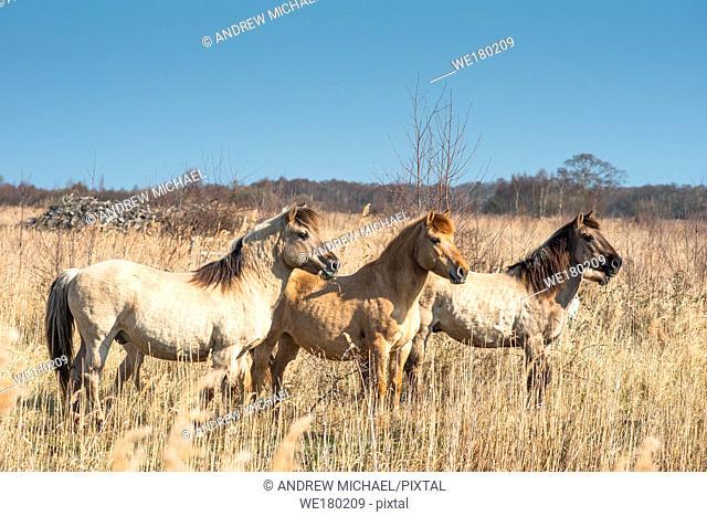 Konik ponies on the Wicken Fen nature reserve, Cambridgeshire; England; UK