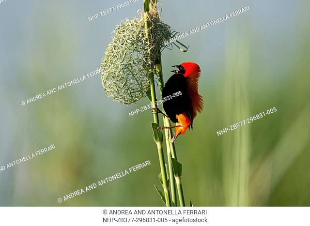 Southern red bishop or Red bishop Euplectes orix, courting and building nest among riverine reed beds, Chobe river, Chobe National Park, Botswana