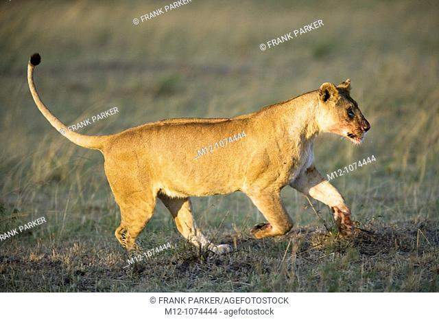 Lioness with a bloody mouth runs across the plains