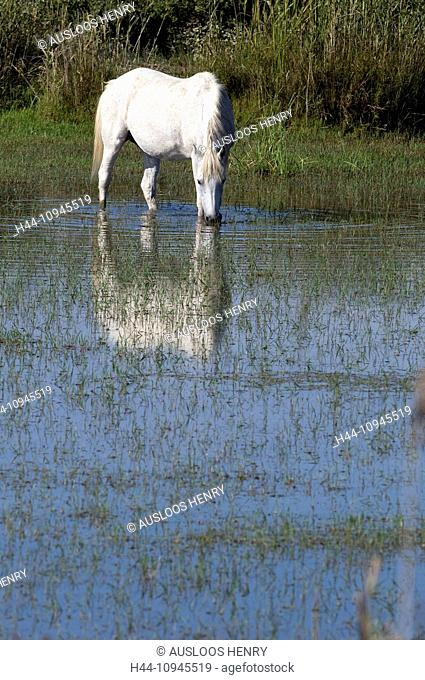 Europe, Camargue, Wild Horse, Horse, animal, pond, France, Equus caballus, white horse