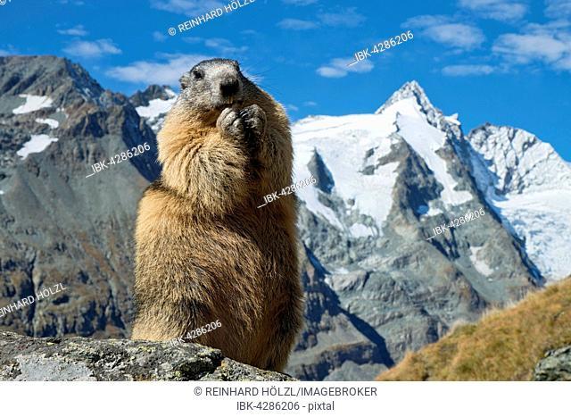 Alpine marmot (Marmota marmota), Grossglockner behind, Kaiser-Franz-Josefs-Höhe, High Tauern National Park, Carinthia, Austria
