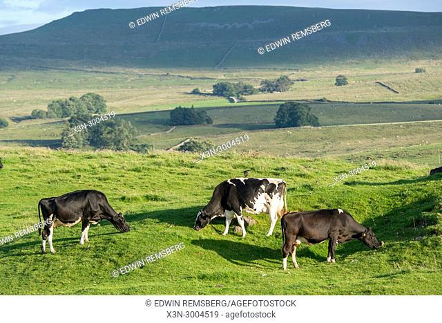 Cows graze sunlight pasture, Yorkshire Dales, UK
