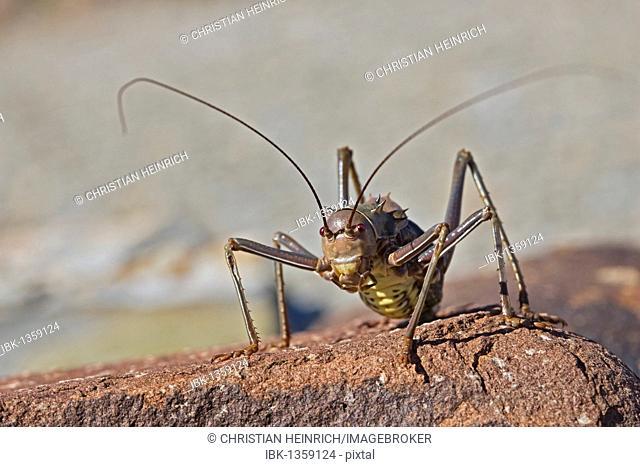 Armoured ground cricket, Armoured bush cricket, Corn cricket or Koringkrieke (Acanthoplus discoidalis), Namibia, Africa
