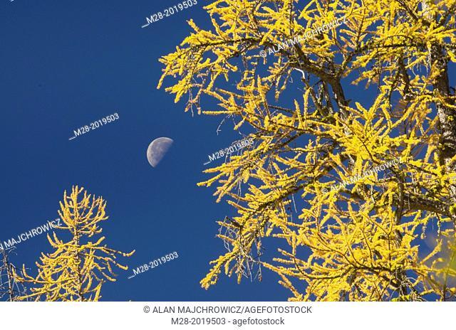 Moon and Subalpine Larch (Larix lyallii) in autumn, North Cascades Washington