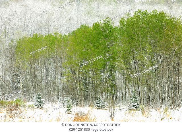 Spring woodland in snowstorm. Ontario. Canada