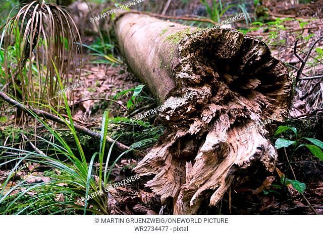 New Zealand, Northland, Kaihu, Trounson Kauri Park, Fallen Tree Trunk at Trounson Kauri Park