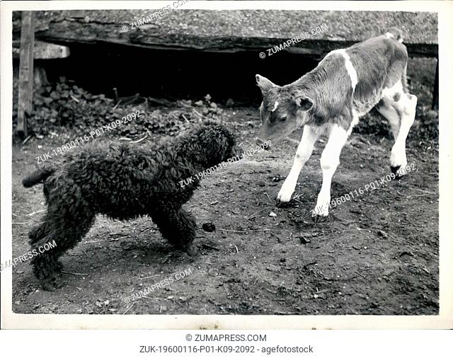 1967 - Calf Love.: Two young things get together and althoug Molly the calf is a little shy, the poddle Emmrill, Geraint, is very keen to make friends