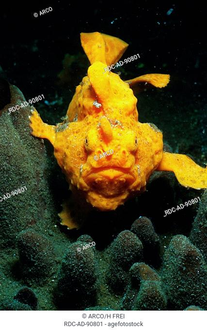 Frog fish, Lembeh Strait, Indonesia, Antennarius spec
