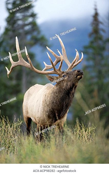 Cervus canadensis nelsoni, rocky mountain elk, rut, Alberta, Canada