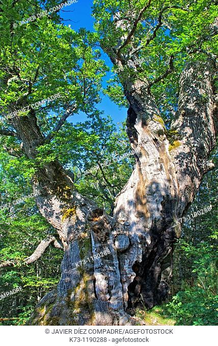 Roblon de Estalaya (Quercus Petraea). Fuentes Carrionas y Fuente Cobre-Montaña Palentina Natural Park. Palencia province, Castilla y Leon, Spain