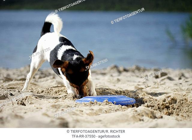 digging Jack Russell Terrier