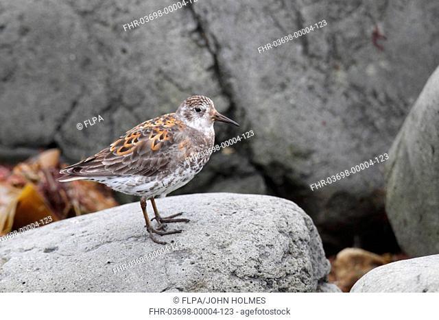 Rock Sandpiper Calidris ptilocnemis adult, standing on rock, Bering Island, Commander Islands, Bering Sea, Kamchatka Krai, Russian Far East, Russia, may
