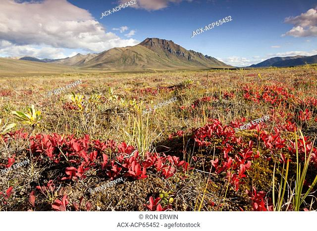 Autumn foliage on the tundra in the Blackstone Uplands of the Ogilvie Mountains in Tombstone Territorial Park, Yukon, Canada