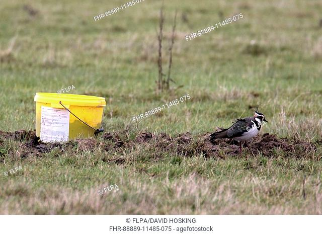 Lapwing by cattle feed lick