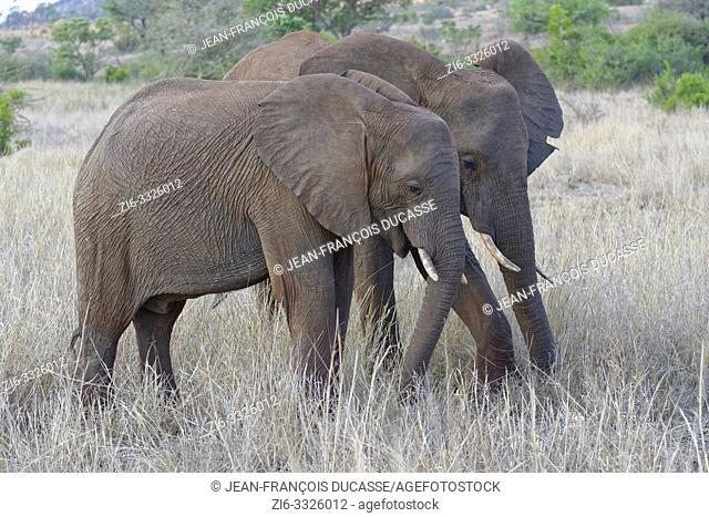 African bush elephants (Loxodonta africana), two young males feeding on dry grass, Kruger National Park, South Africa, Africa