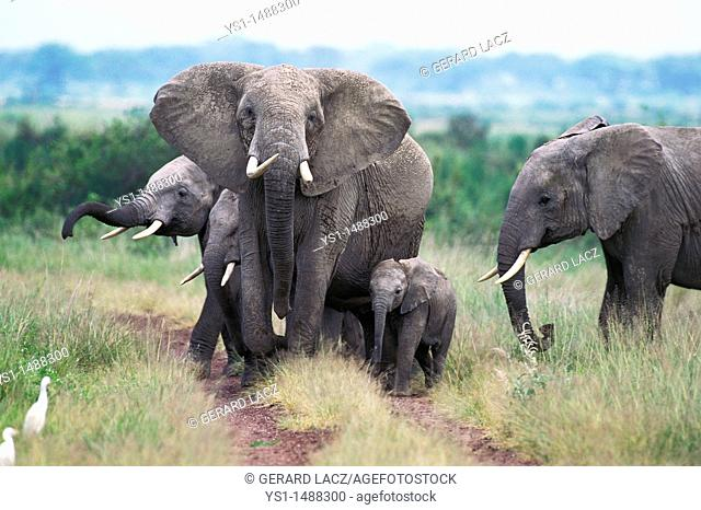 African Elephant, loxodonta africana, Female with Calf, Masai Mara park in Kenya