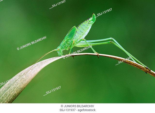 speckled bush cricket / Leptophyes punctatissima