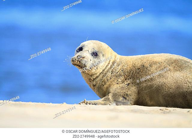 Harbor Seal (Phoca vitulina) resting on sand dune. Blakeney National Nature Reserve. Norfolk. England. UK