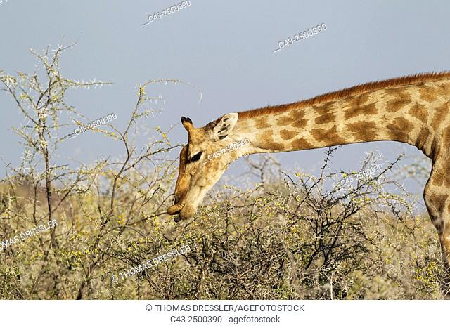 Southern Giraffe (Giraffa camelopardalis giraffa) - Female, feeding on the yellow flowers and leaves of a Water-thorn acacia (Acacia nebrownii)