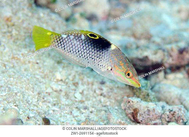 Immature Checkerboard Wrasse (Halichoeres hortulanus), Romeo dive site, Wayil Island, Misool, Raja Ampat (4 Kings), West Papua, Indonesia