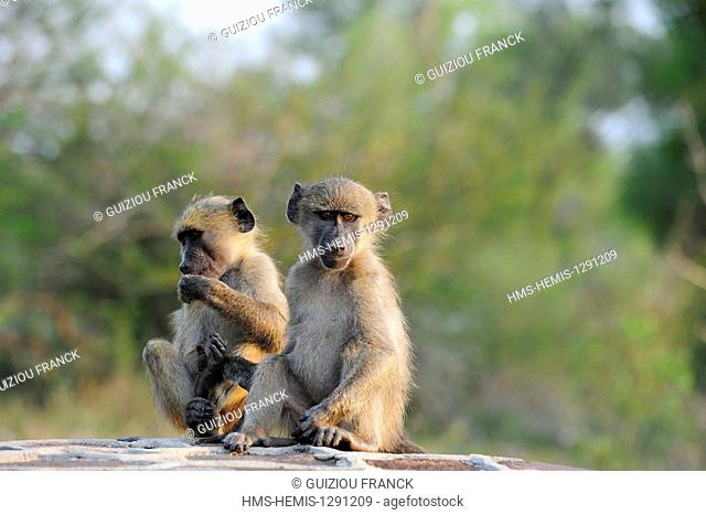South Africa, Mpumalanga region, the South Kruger National Park, Chacma baboon (Papio hamadryas ursinus)