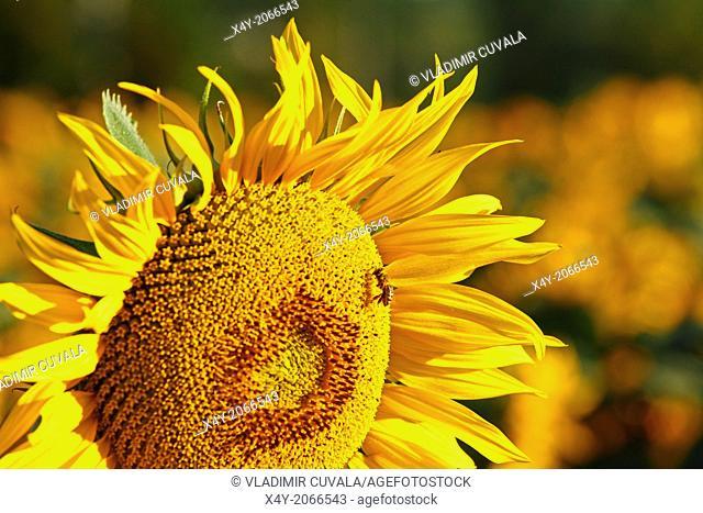 Western honey bee (Apis mellifera) collecting nectar on sunflower plant (Helianthus annuus). Location: Male Karpaty, Slovakia