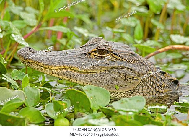 American Alligator - head appearing above water among Water Hyacinth and other aquatic plants (Alligator mississippiensis)