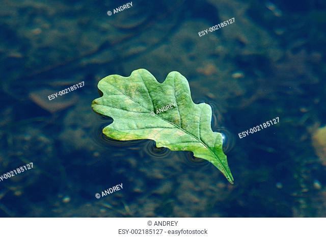 Autumn oak sheet floating in water