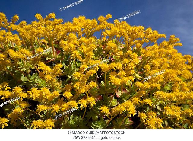 Composition in full spring bloom of Sedum Palmeri yellow