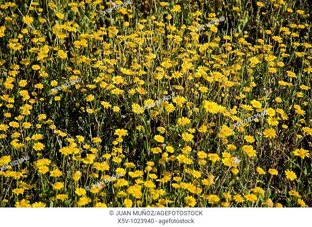 Yellow flowers. Odiel Marshes Natural Park. Huelva. Andalucia. Spain