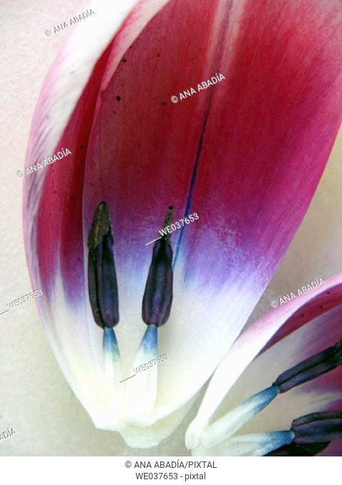 Stamens and petals of tulip