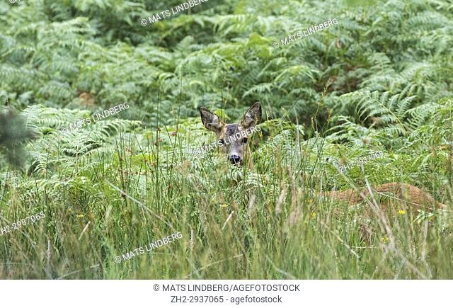 Roedeer, Capreolus capreolus, standing in high grass peaking between the grass looking in to the camera, Calander, Scotland