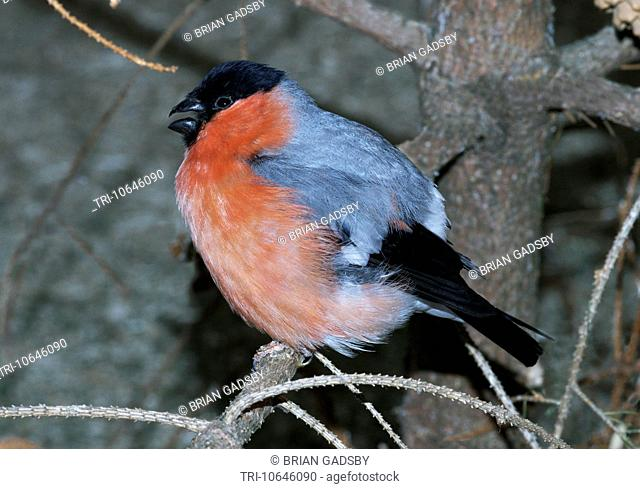 Male bullfinch of northern european race in winter