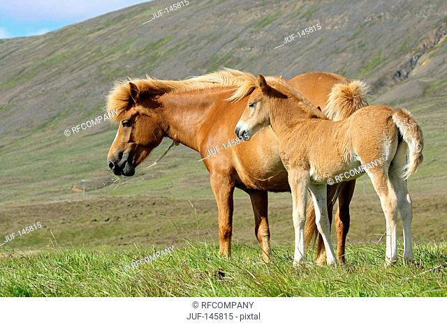 Icelandic horse and foal on meadow