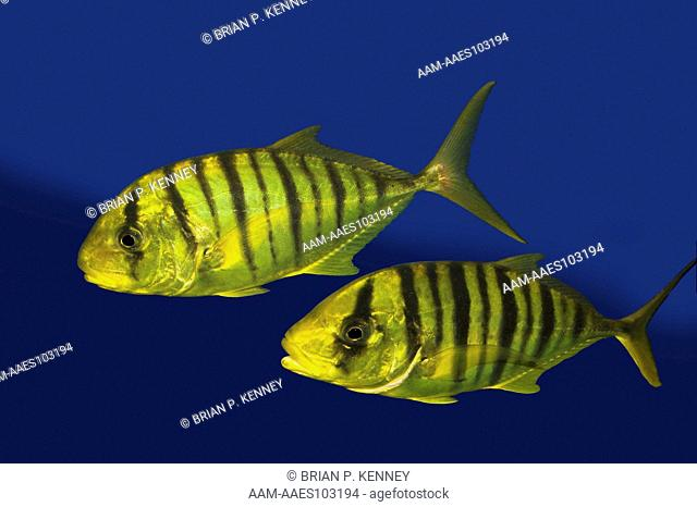 Golden Trevally (Gnathanodon speciosus) Two Juveniles / Juvenile Golden Trevally Jacks are bright yellow with vertical black bars