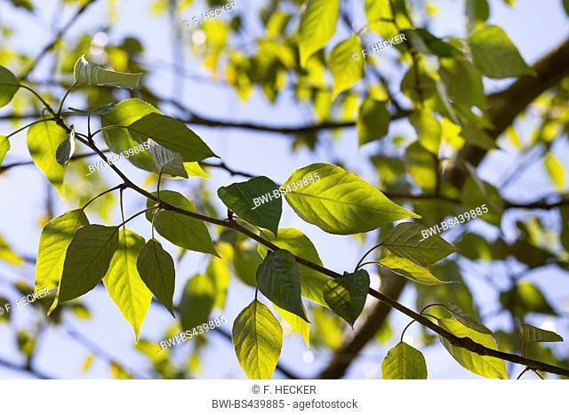 balsam poplar, eastern balsam-poplar, tacamahac (Populus balsamifera, Populus tacamahaca), branch in backlight, Germany
